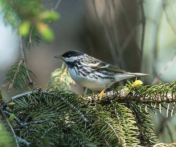 blackpoll warbler - setophaga stockfoto's en -beelden