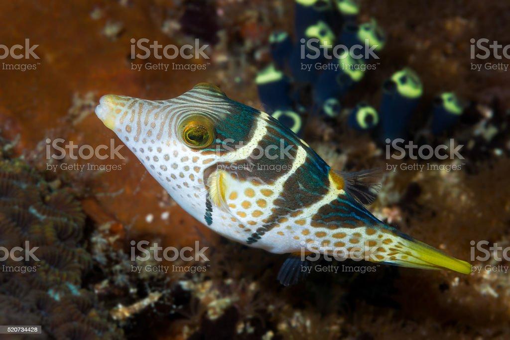 Black-saddled Toby fish stock photo