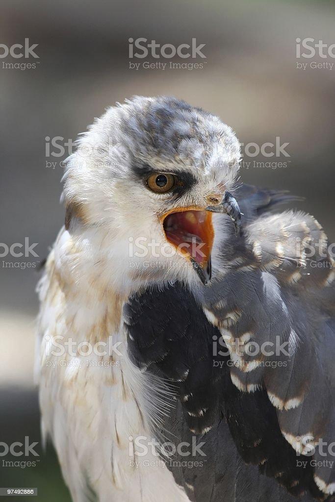 Black-shouldered Kite Bird royalty-free stock photo