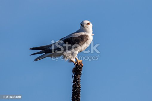 Black-shouldered Kite with mouse prey