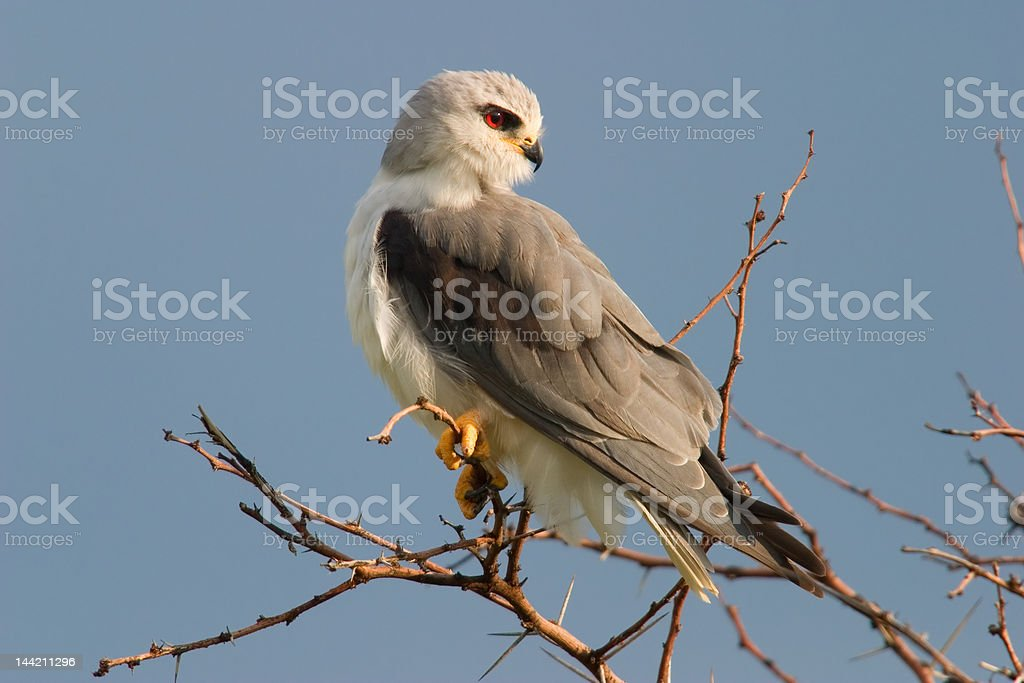Black-shouldered kite royalty-free stock photo