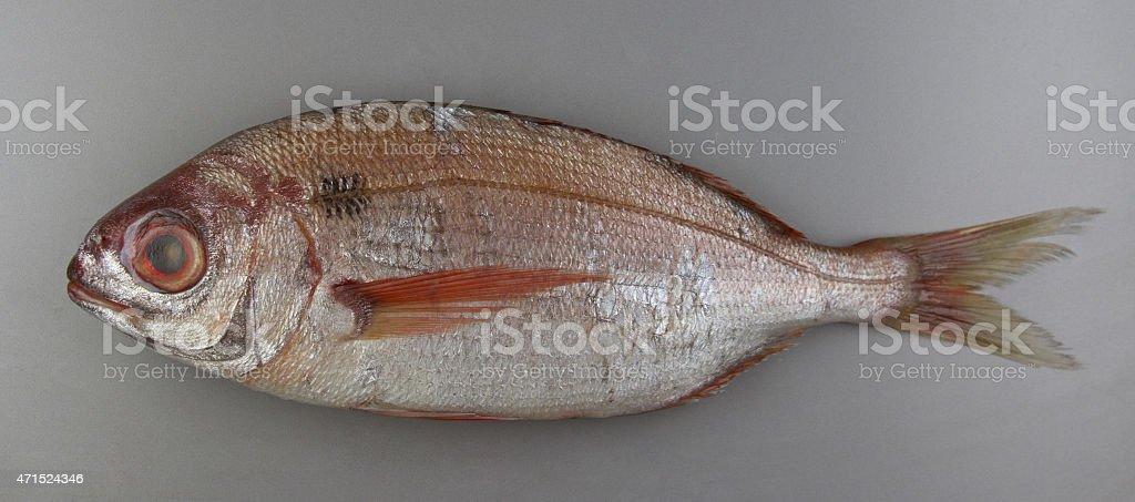 Blackspot seabream on grey background, atlantic fish stock photo