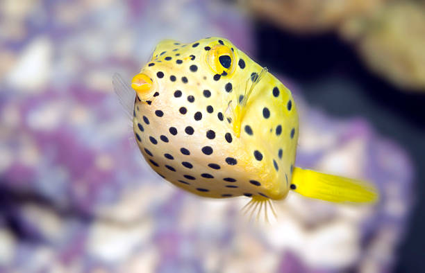 Black-spotted boxfish Small boxfish underwater close-up indo pacific ocean stock pictures, royalty-free photos & images