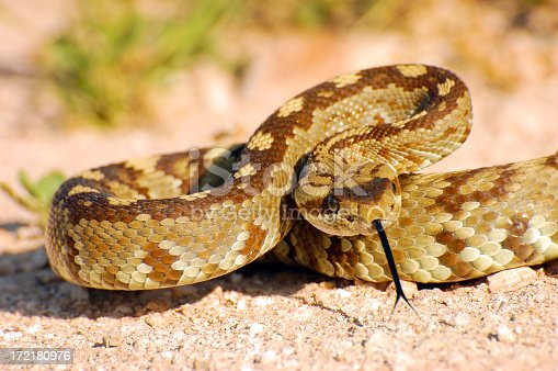 Blacktail rattlesnake found near Lechuguilla Springs in New Mexico.