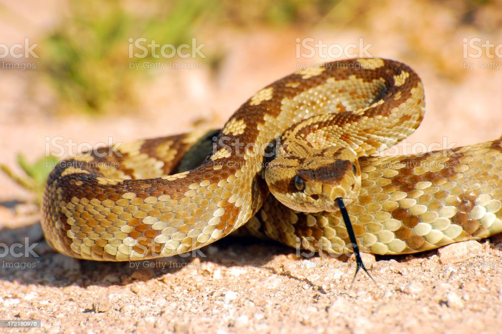 Blacktail Rattlesnake Coiled to Strike 2 stock photo