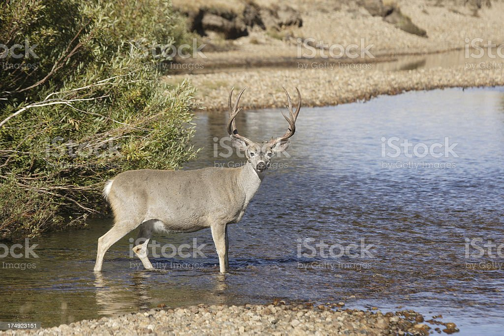 Black-tailed Deer royalty-free stock photo