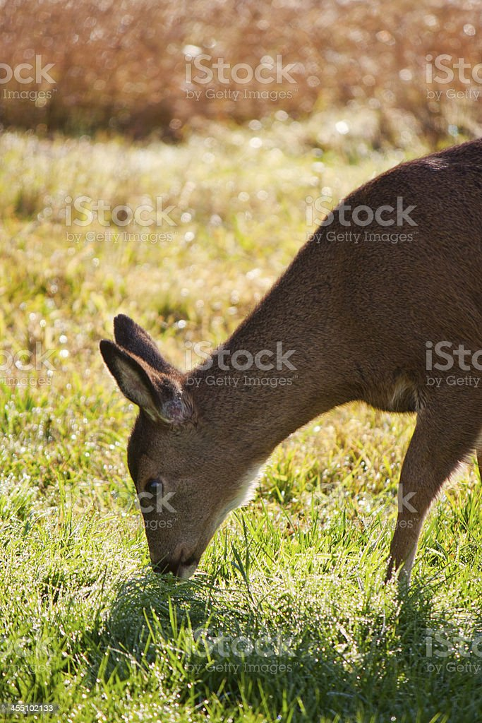 Black-tailed Fawn Eating Grass royalty-free stock photo