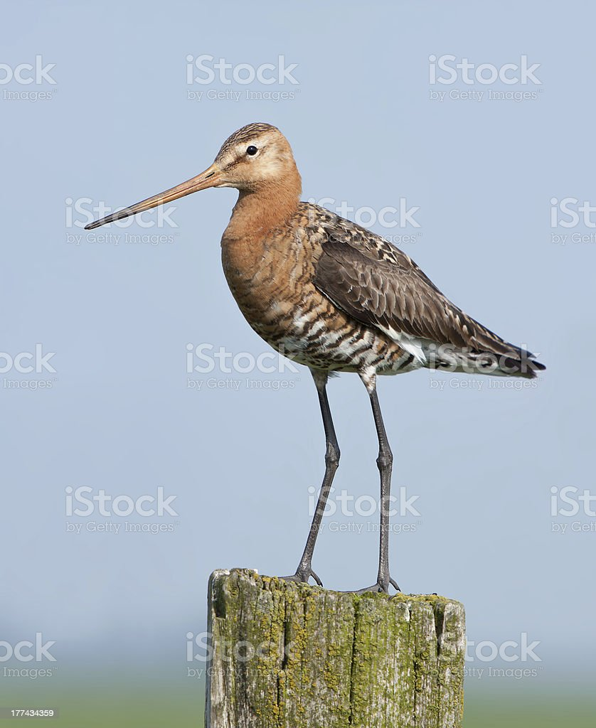 Black-tailed Godwit (Limosa limosa) - Eemnes, the Netherlands stock photo