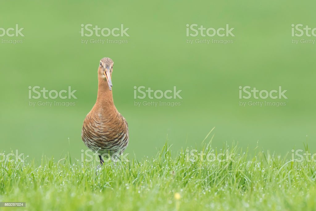 black-tailed godwit (Limosa Limosa) foraging in a wet meadow stock photo