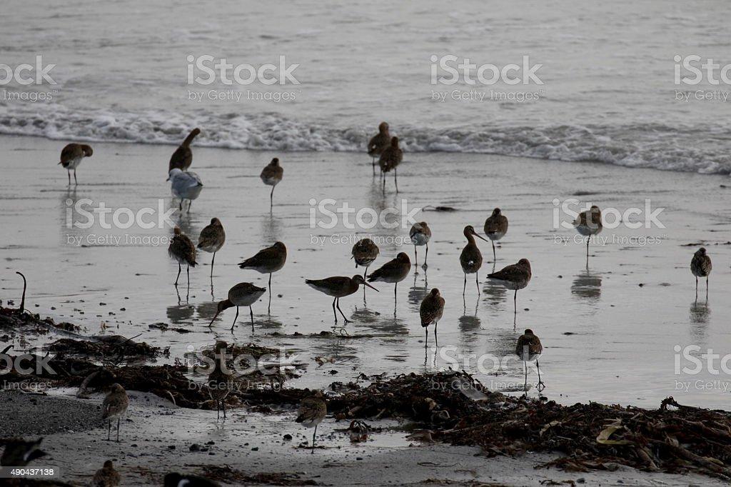 Black-tailed godwit, Limosa limosa stock photo