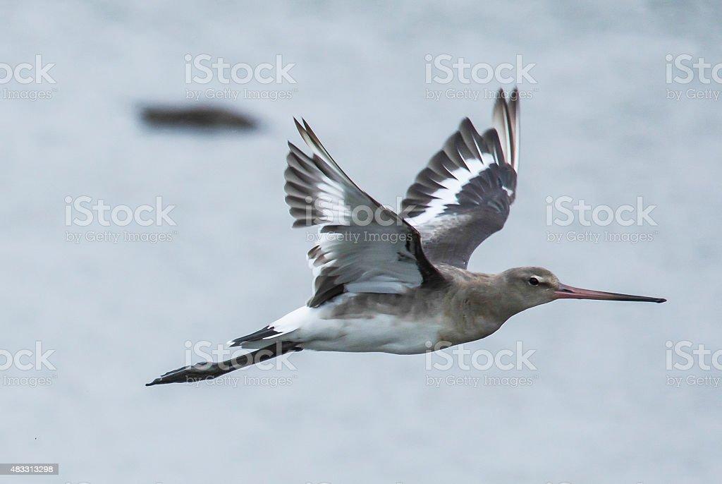 Black-tailed Godwit stock photo