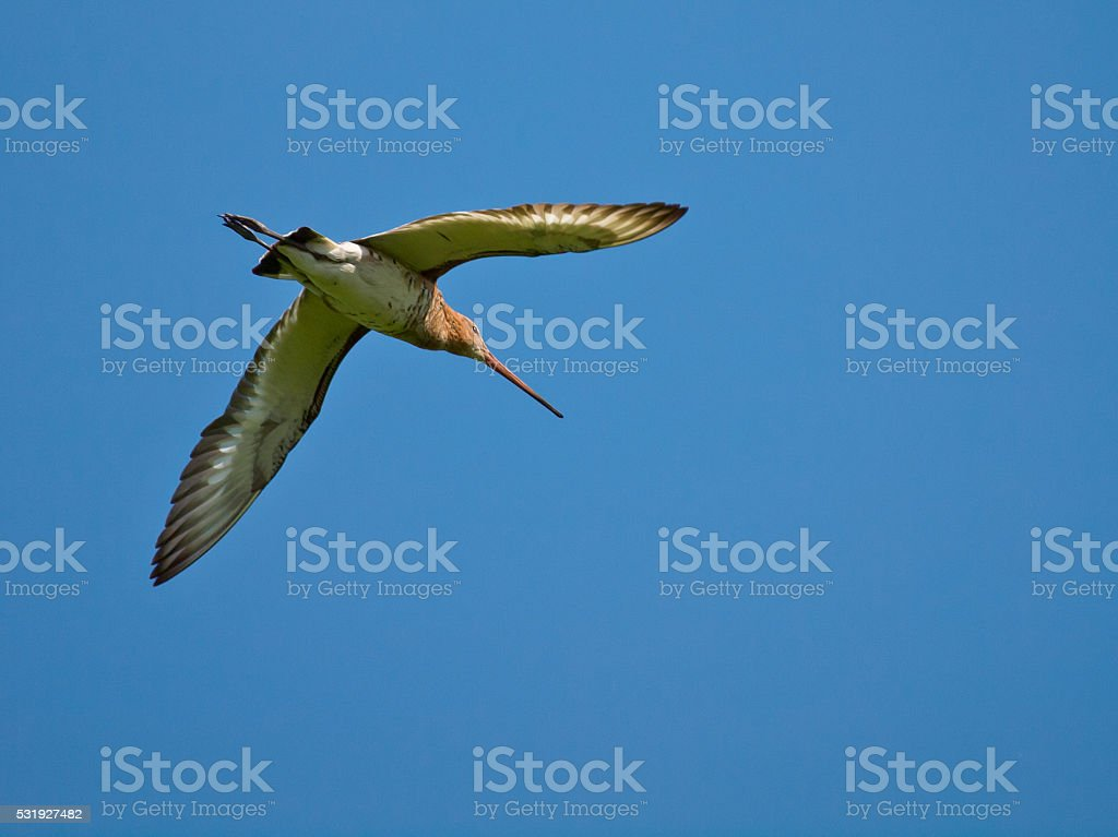 black-tailed god-wit stock photo