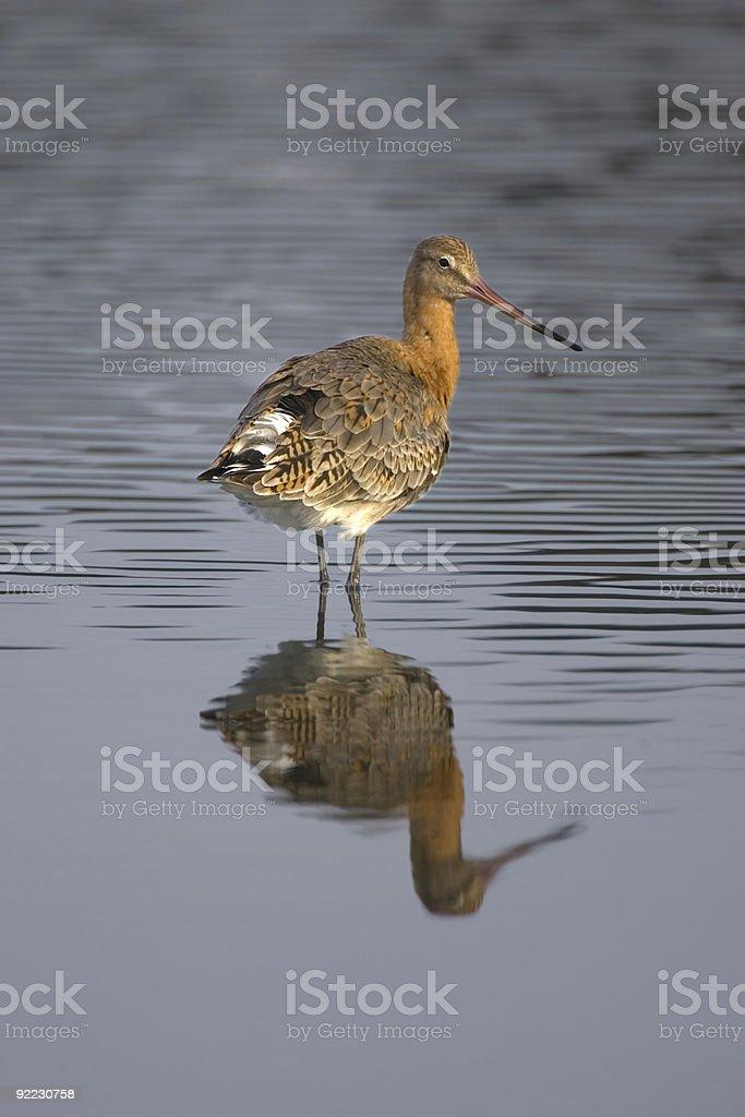 Black-tailed Godwit (Limosa) stock photo