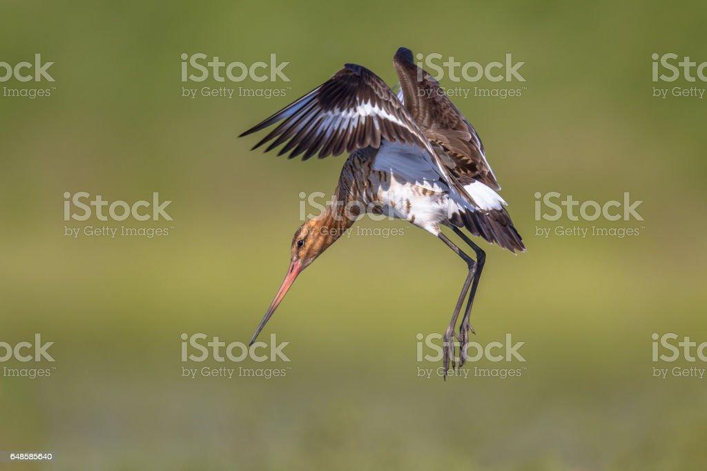 Black-tailed Godwit wader bird preparing to land stock photo