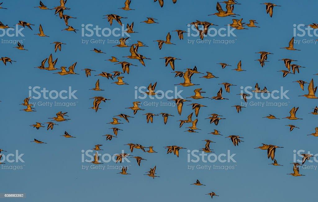 Black-tailed Godwits in flight at Bhigwan stock photo