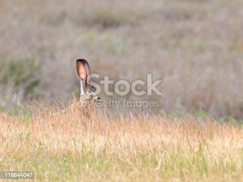 Alert black-tailed jackrabbit,