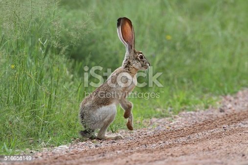 Black-tailed Jackrabbit (Lepus californicus) in the Arizona desert