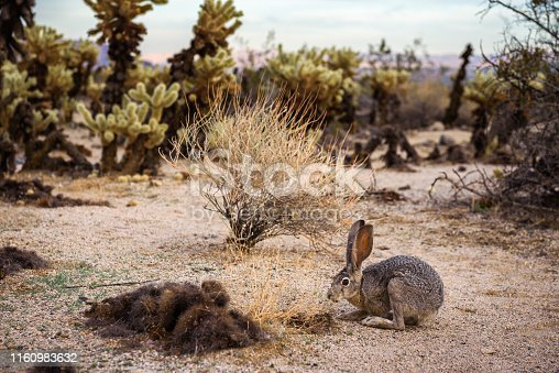 Wild black-tailed jackrabbit, also known as the American desert hare, sitting on a trail in Joshua Tree National Park, southern California.