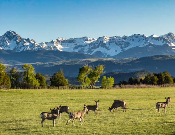 Black-Tailed Mule feeding in green fields in Ridgway, Colorado A herd of black-tailed mule deer graze near the base of the San Juan Mountains in Ridgway, Colorado san juan mountains stock pictures, royalty-free photos & images