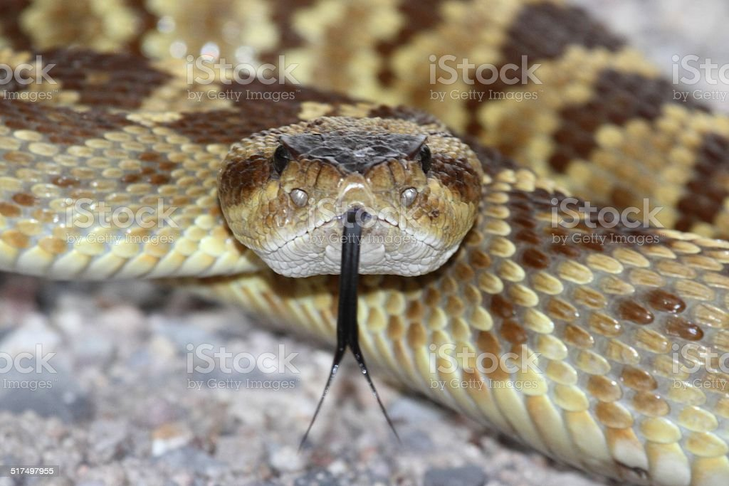 Black-tailed Rattlesnake (Crotalus molossus) stock photo