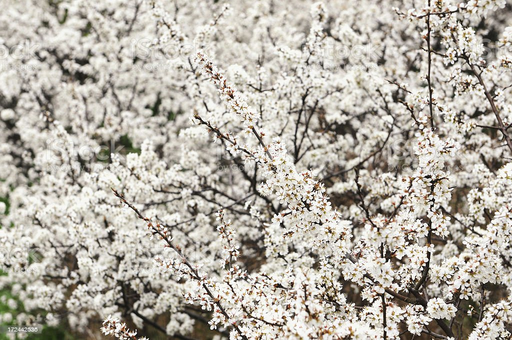 Blackthorn (Prunus spinosa) blossom in springtime royalty-free stock photo
