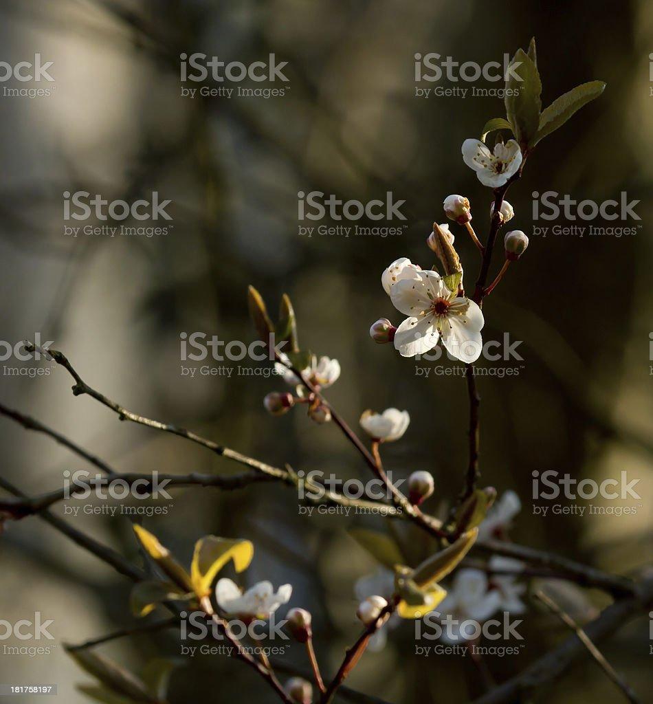 Blackthorn Blossom royalty-free stock photo