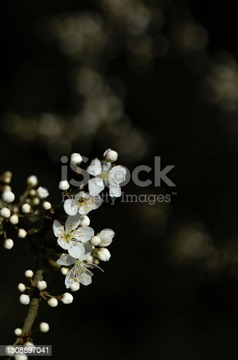 The blackthorn is one of the earliest flowering trees in the UK and its flowers begin to open in February. This macro image has a sharply focused flower against a blurred background.