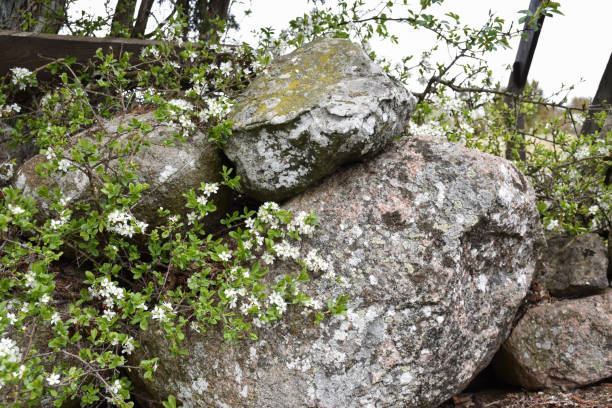 Blackthorn flowers on a twig by an old stone wall stock photo