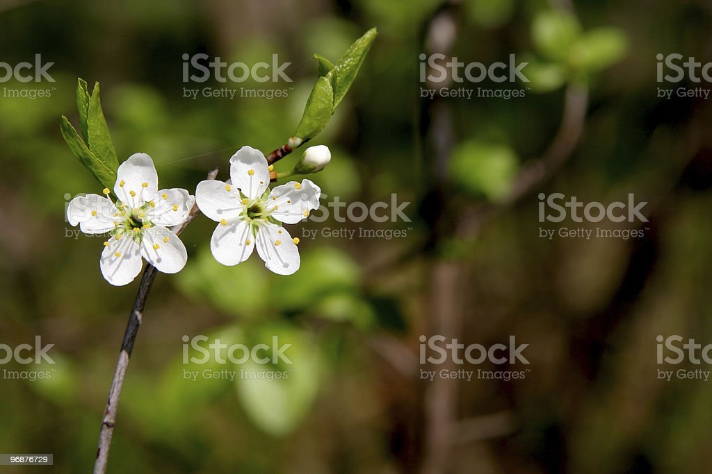 Blackthorn royalty-free stock photo