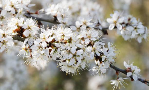 Sleedoorn, Sloe (Prunus spinosa) bloesem foto