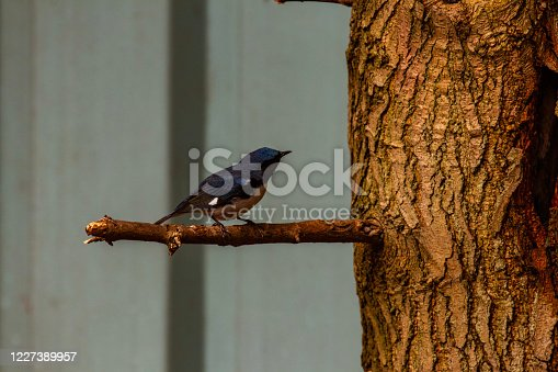 istock Black-throated blue warbler on a branch 1227389957