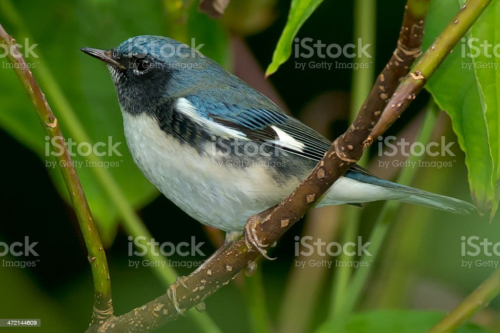 Black-throated Blue Warbler royalty-free stock photo