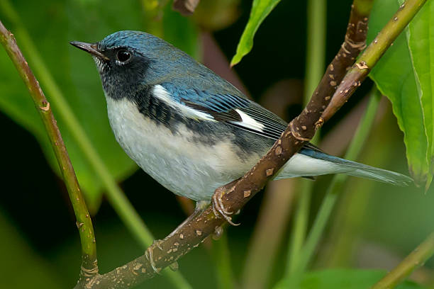 Black-throated Blue Warbler stock photo