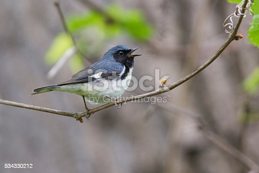 istock Black-throated Blue Warbler 534330212