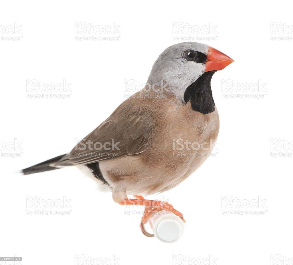 Black-throated Finch - Poephila cincta stock photo