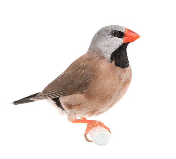 Black-throated Finch - Poephila cincta  finch stock pictures, royalty-free photos & images