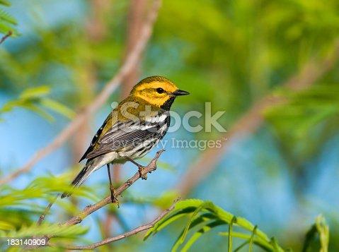 istock Black-throated Green Warbler 183140909