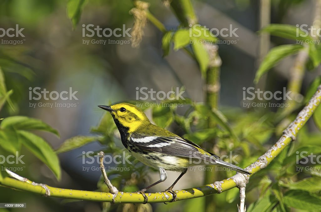 Black-throated Green Warbler stock photo