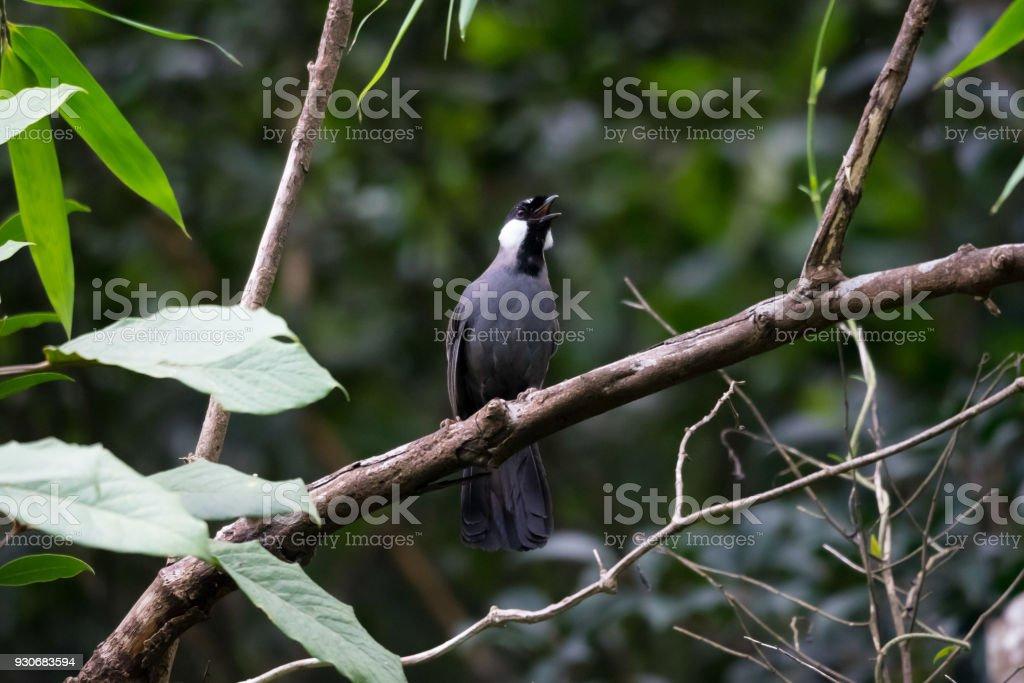 Black-throated Laughingthrush stock photo