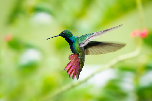 A Black-throated Mango hummingbird hovering in the air with his tail flared.  Vervain blurred in the background.