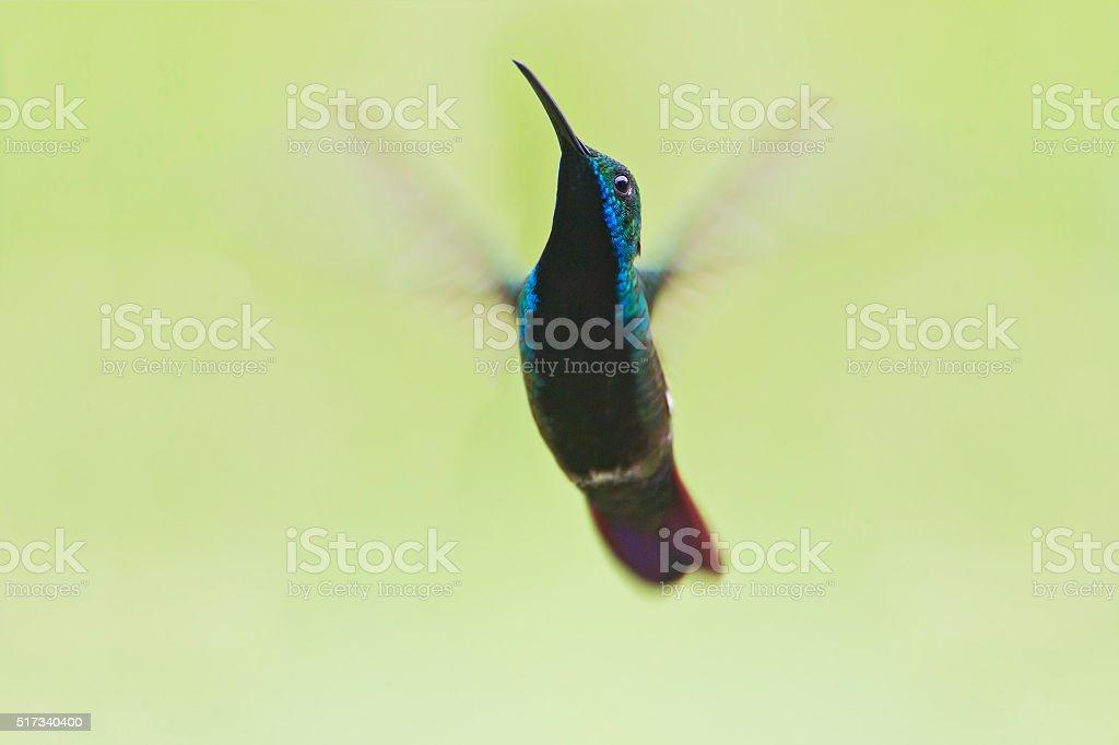Black-throated Mango (Anthracothorax nigricollis) male hovering in mid-air, Itanhaem, Brazil stock photo