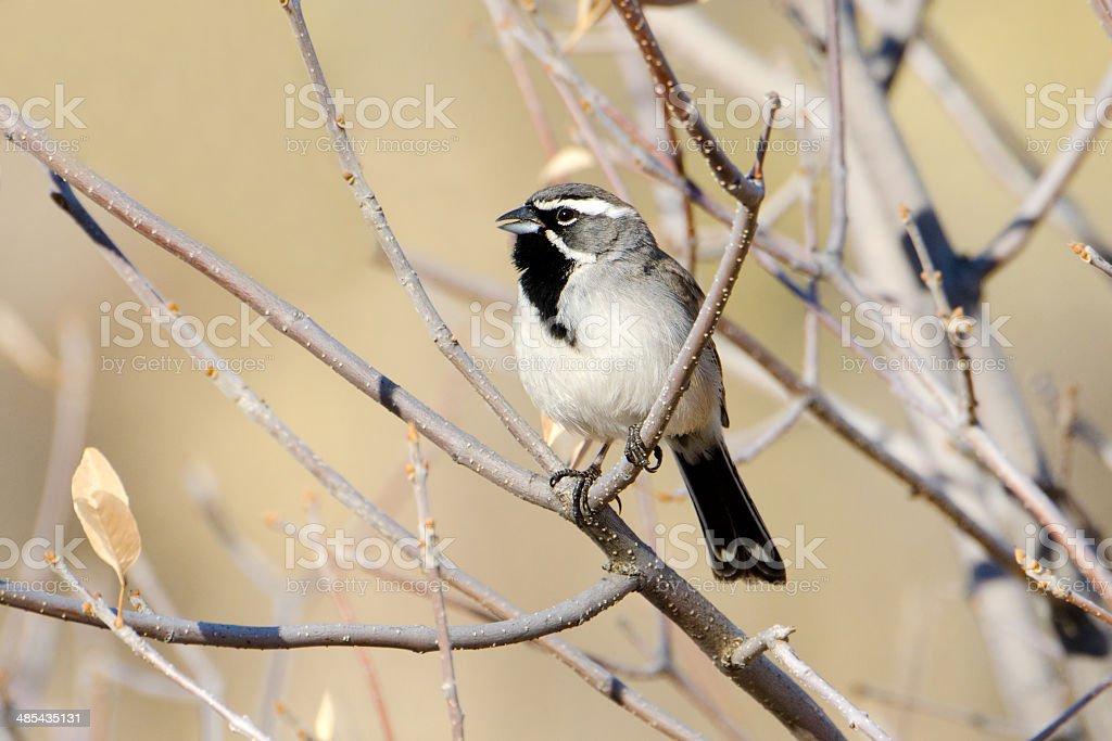 Black-throated Sparrow, Arizona royalty-free stock photo