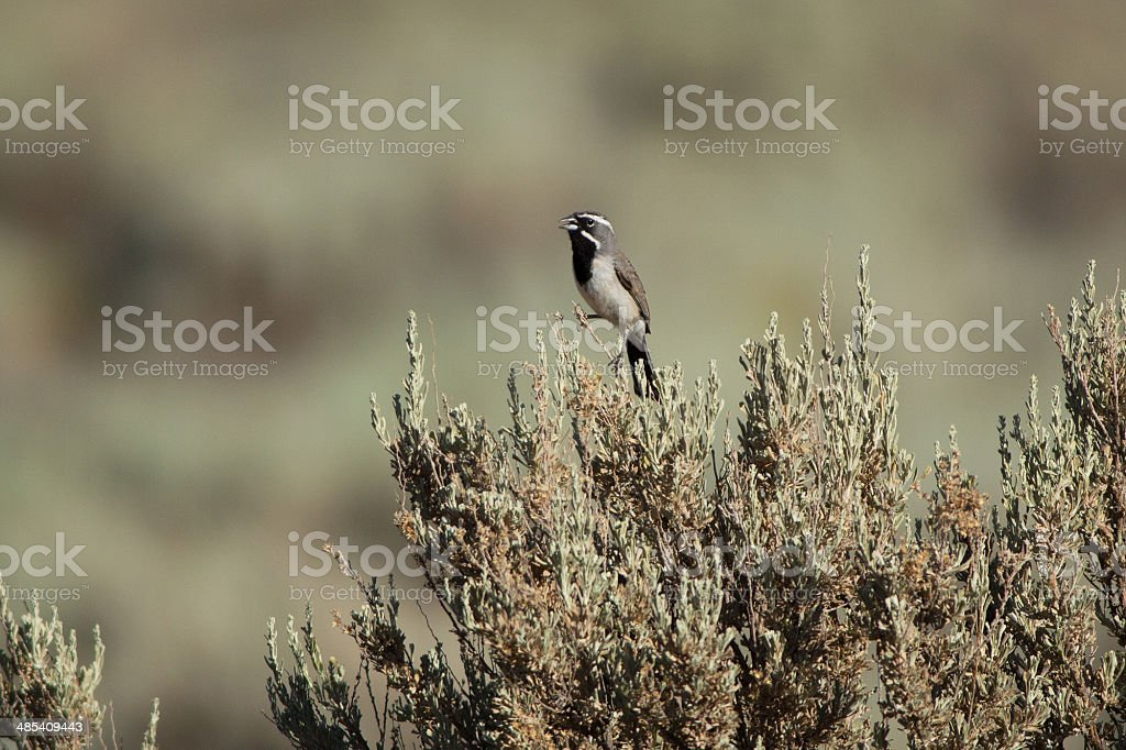 Black-throated Sparrow royalty-free stock photo
