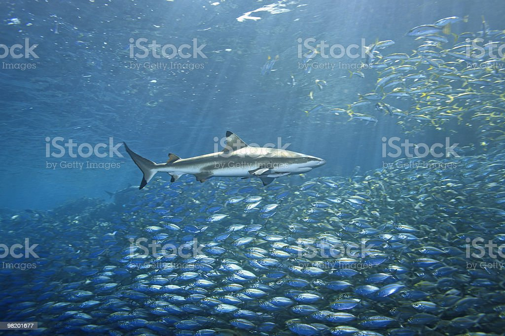 Blacktip Reef Shark and Fish royalty-free stock photo
