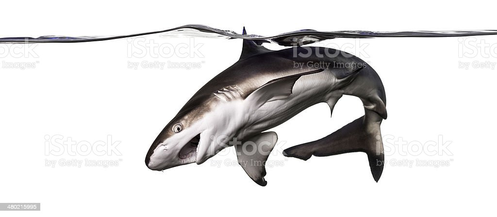 Blacktip reef shark attacking, swimming down the surface stock photo