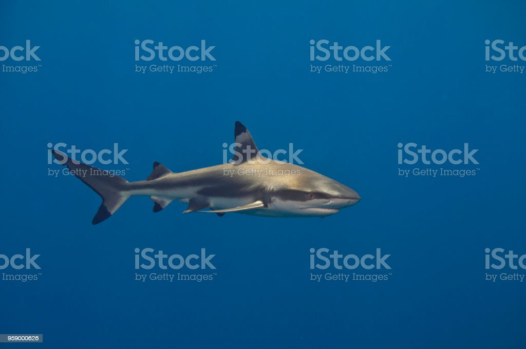 Blacktip reef shark circling around divers in Moorea, French Polynesia stock photo