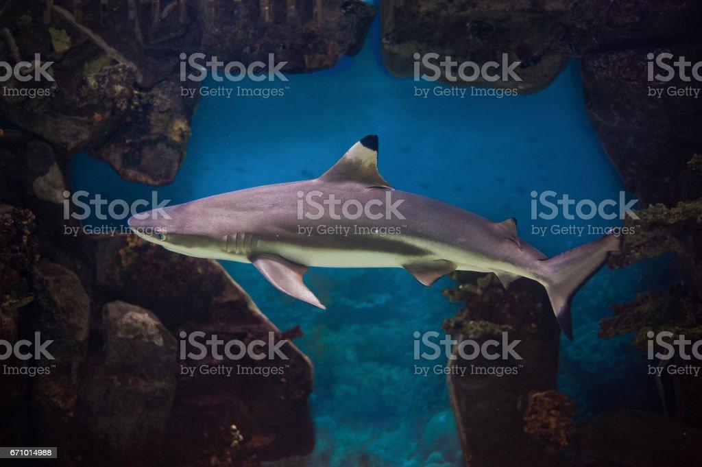 Blacktip reef shark deep underwater stock photo
