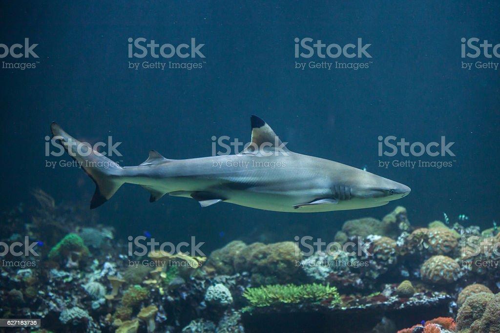 Blacktip reef shark (Carcharhinus melanopterus) stock photo