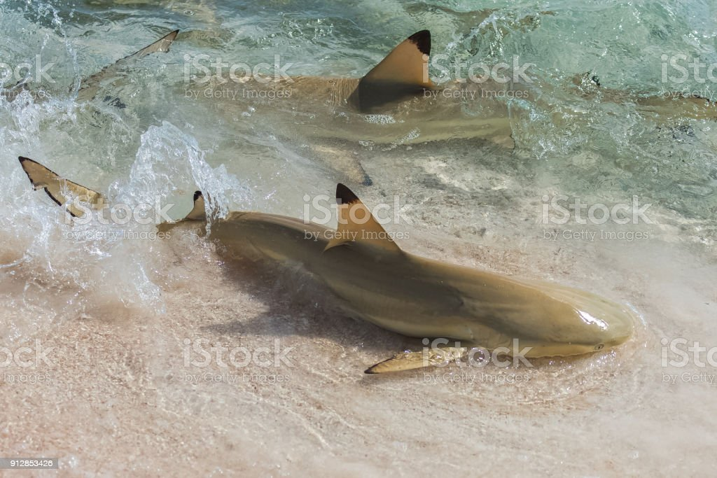 Blacktip reef shark Blacktip reef shark, Carcharhinus melanopterus, swimming on the shore and fighting for food Animal Stock Photo