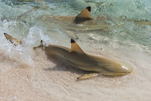 Blacktip Reef Shark Stock Photo - Download Image Now